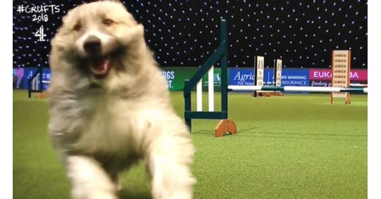 The Story Behind The Star Of Crufts